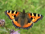 Small Tortoiseshell (Aglais urticae)